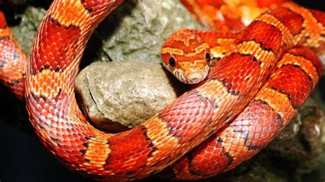 imagenes de serpientes oscuras 191 elegir a una serpiente como mascota