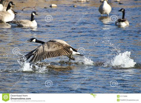 taking a to canada canada goose taking to flight from the water royalty free stock image image 37175896
