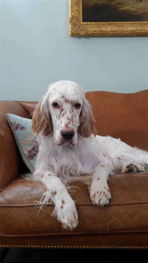 english setter girl dog names loveee english setters this one looks just like duke