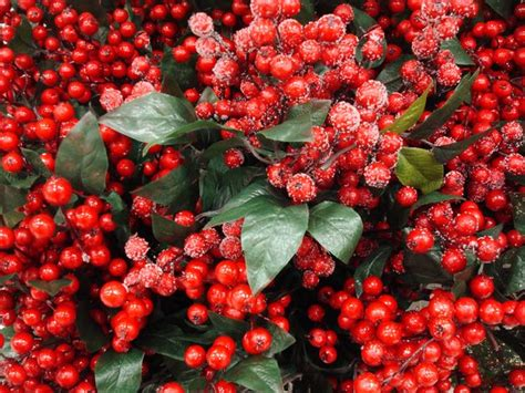 christmas decorations with berries free stock photos rgbstock free stock images berries for decorati mattnolt