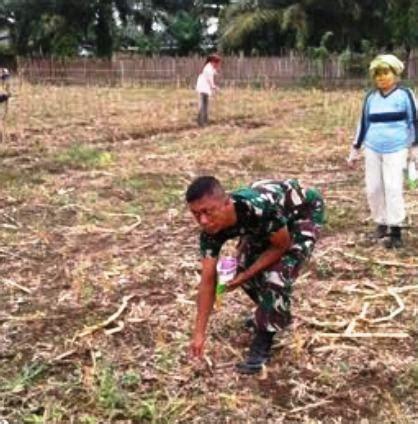 Bibit Jagung babinsa atasi kesulitan petani dalam bercocok tanam