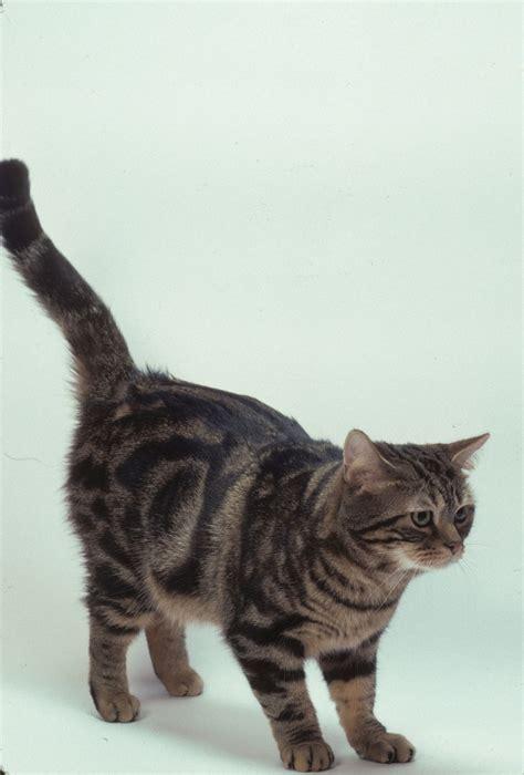 shorthair cat american shorthair cat breeds at mypetsmart