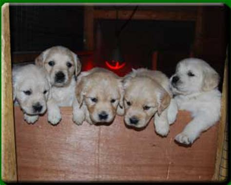 havanese mount forest bonnieview kennels golden retrievers mount forest ontario canada