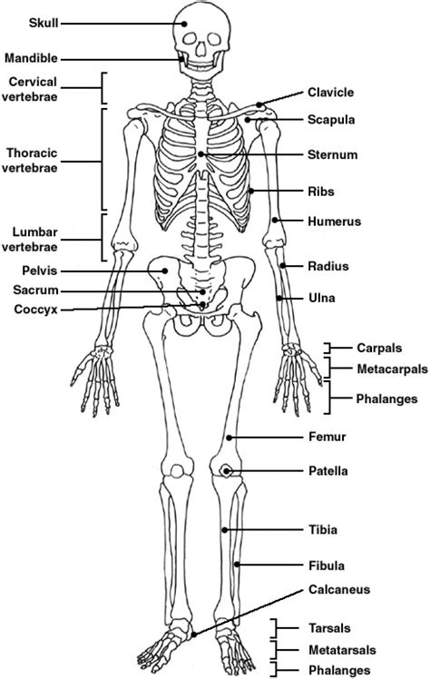 labeled bone diagram skeleton labeled bones anatomy structure