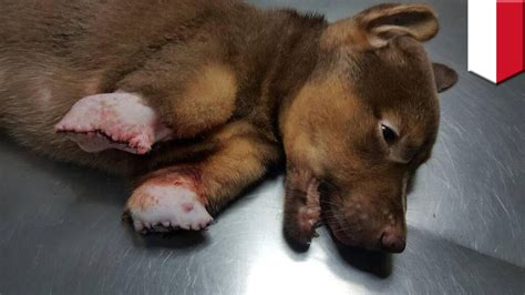 poor puppy poor abuse mutilated puppy was found without front legs tomonews puppies