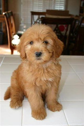 goldendoodle puppy mill rescue best 25 teddy dogs ideas on