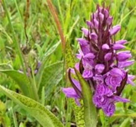 wilde bloemen terschelling wilde orchidee 235 n in natuurgebieden duinen en bermen