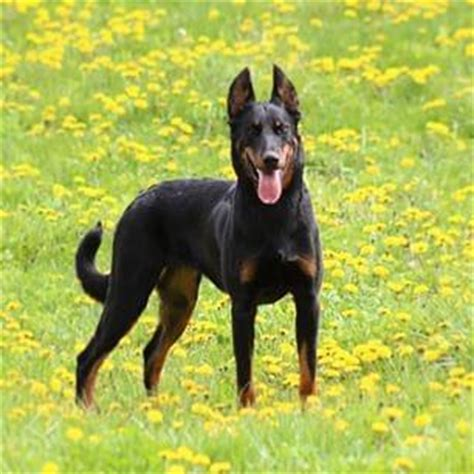 are rottweilers and dobermans related what does a doberman rottweiler mix look like quora