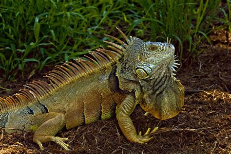 imagenes de iguanas rojas what to do with puerto rico s invasive iguanas eat them