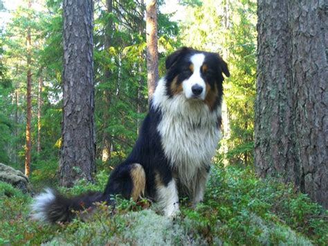 undocked australian shepherd puppies for sale 17 best images about georgian shepherd on beautiful caucasian