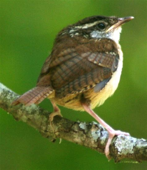 south carolina state bird carolina wren dog breeds picture
