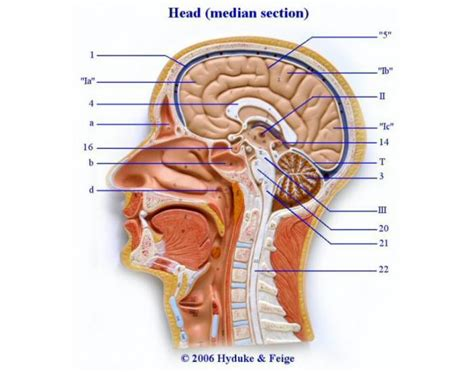 sagittal section of the head and neck midsagittal section of the head and neck purposegames