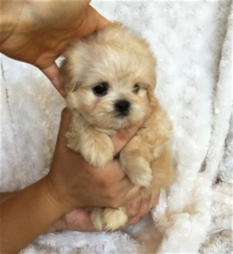 shih tzu breeders in southern california teacup maltipoo puppies for sale california breeds