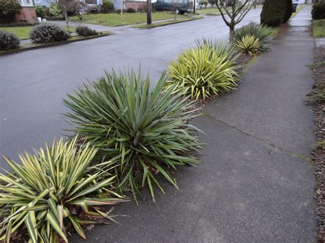 yucca color guard danger garden yucca filamentosa color guard is my