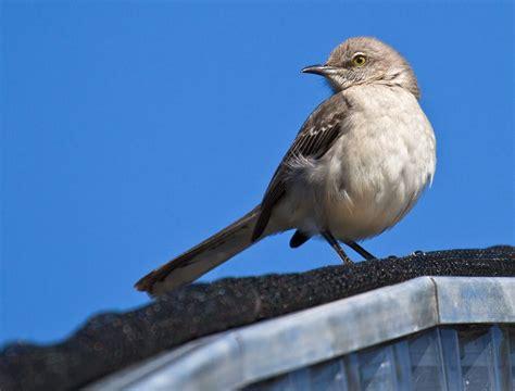 mockingbird predators mockingbird birds predator insects and bird