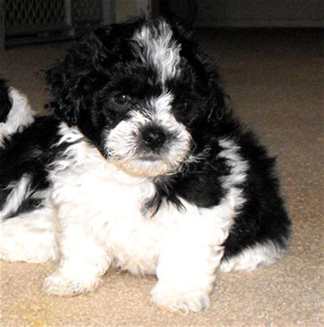 white shih tzu poodle mix black and white shih tzu poodle mix pictures to pin on pinsdaddy