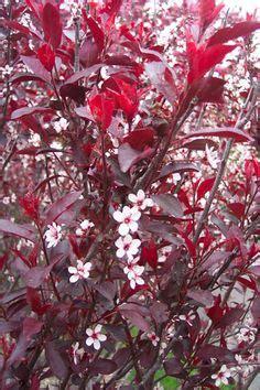 purple leaves pink flowers shrub purple leaf cherry plum tree in the front yard beautiful