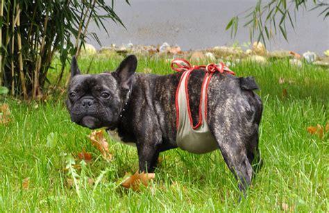how is a dogs period la couche pour chien piccobello couche pour chien bouledogue fran 231 ais la culotte