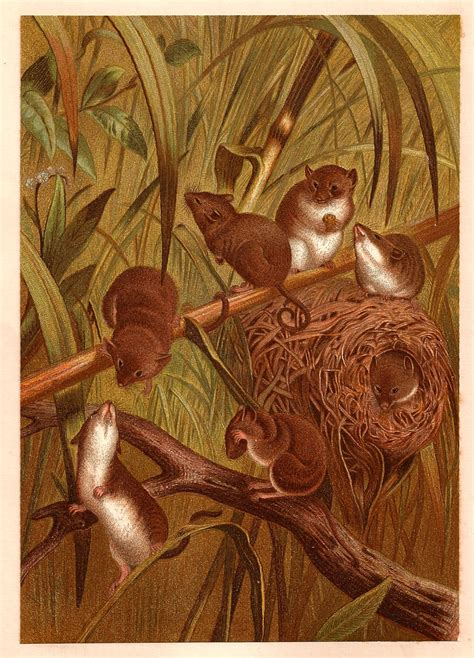 antique images  animal graphic  victorian illustration  harvest mouse