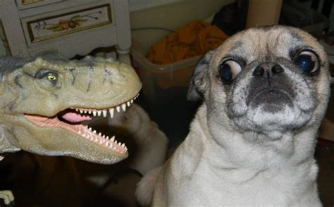 scared pug 9 times dogs were in hilarious or with comical expressions page 2