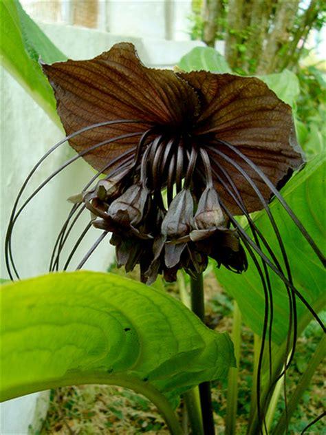 imagenes orquideas negras orquideas orqu 237 deas negras