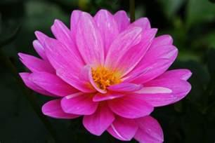 beautiful flower file beautiful pink flower west virginia forestwander jpg