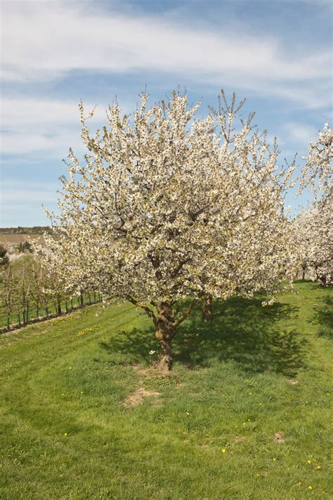 cherry tree pruning trimming cherry trees when and how to prune a cherry tree