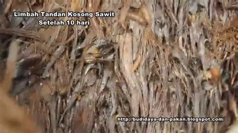 Pakan Ikan Lele Galaxy penghasil maggot yang banyak dari bahan limbah sawit