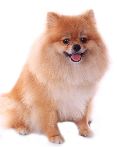 pomeranian expectancy pomeranian puppies breed information puppies for sale