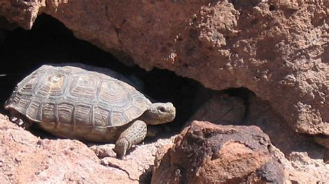 Image result for Desert tortoises euthanized