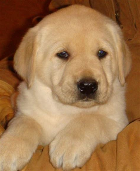 how many puppies do labs legacy mountain akc yellow lab puppies