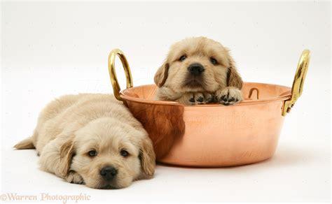 copper golden retriever puppies golden retriever pup