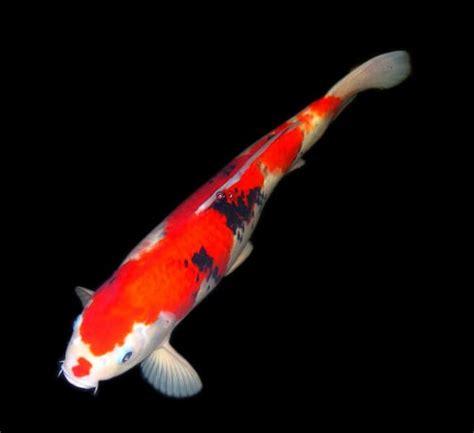foto tato ikan koi 7 ikan hias air tawar yang paling populer sarungpreneur