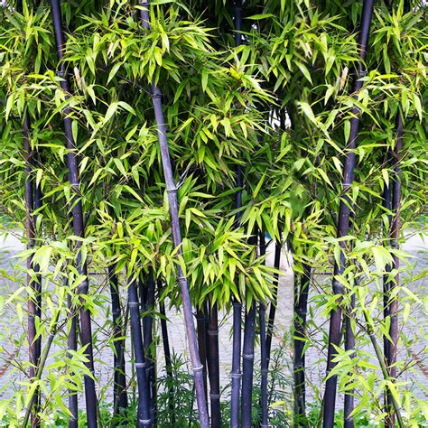 100 pcs viable seeds rare purple bamboo timor bambusa lako plant easy to grow ebay