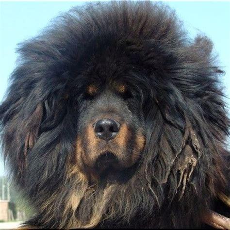Do Mastiffs Shed by Meer Dan 1000 Idee 235 N Tibetaanse Mastiff Op