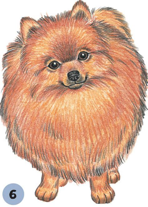 pomeranian drawing pomeranian learn to draw dogs puppies book