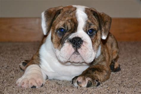 pictures of bulldog puppies bulldog puppy for sale american bulldog puppies for sale bruiser