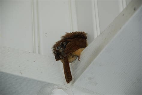 Porch Plans Carolina Wren Sleeping Found This Little Bird Sleeping