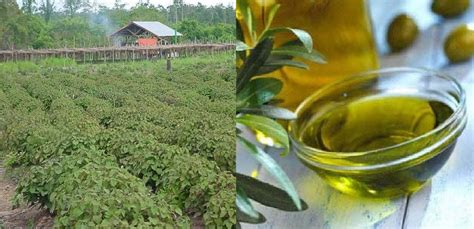 Minyak Nilam Di Kendari manfaat penting minyak nilam melawan depresi hingga demam