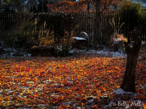 snow on maple leaves cooke fall archives betty photography