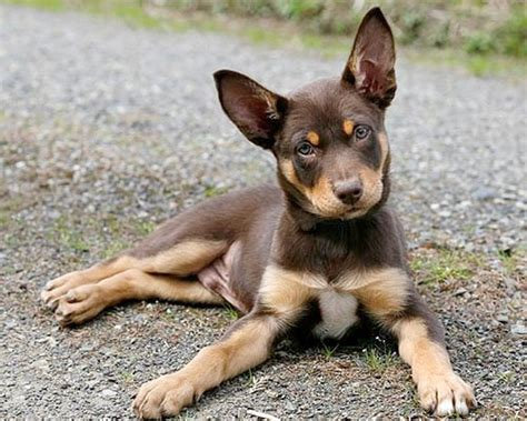 kelpie puppy australian kelpie info puppies mix temperament pictures