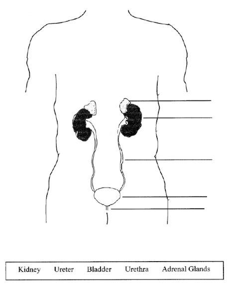 diagram of excretory system excretory system diagram unlabeled blank excretory diagram