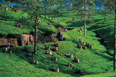Ceylon Srilanka ceylon aus sri lanka herkunft zubereitung wirkung