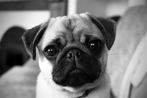 pug black and white pug portrait the of pepper nicko s big picture