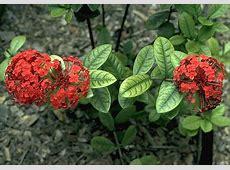 Manganese Deficiency in Ixora (Ixora coccinea) | Plant ... Manganese Element