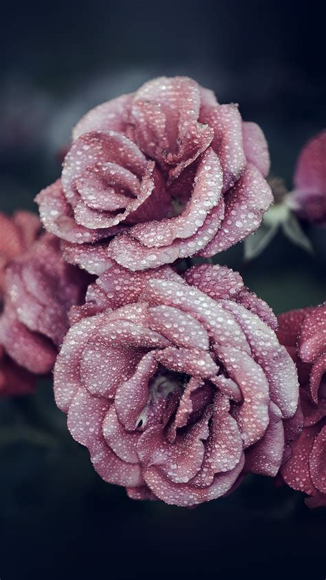 wallpaper for iphone 6 rose for iphone x iphonexpapers