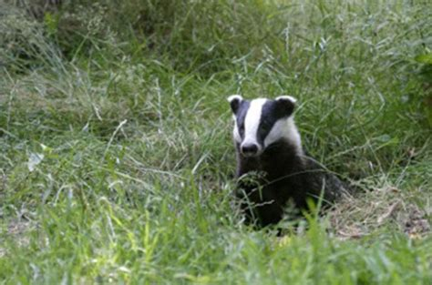 badger cull petition dorset wildlife trust backs petition calling for end to