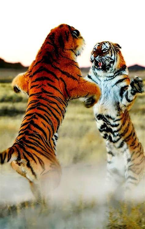 3 tigers in combat 25 b 228 sta fight tiger id 233 erna p 229 tigrar