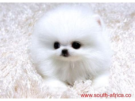 teacup pomeranian teddy teacup pomeranian puppies designer teddy bears 5 pounds gr breeds picture