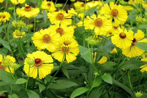 Writer S Chair sneezeweed helenium autumnale plant care guide auntie